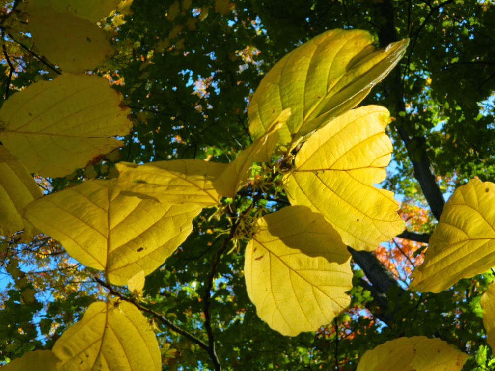 Common witch hazel Hamamelis virginiana autumn foliage Mount Pleasant Cemetery by garden muses-not another Toronto gardening blog