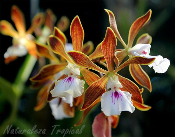 Flor de la orquídea de chocolate (Encyclia phoenicea)