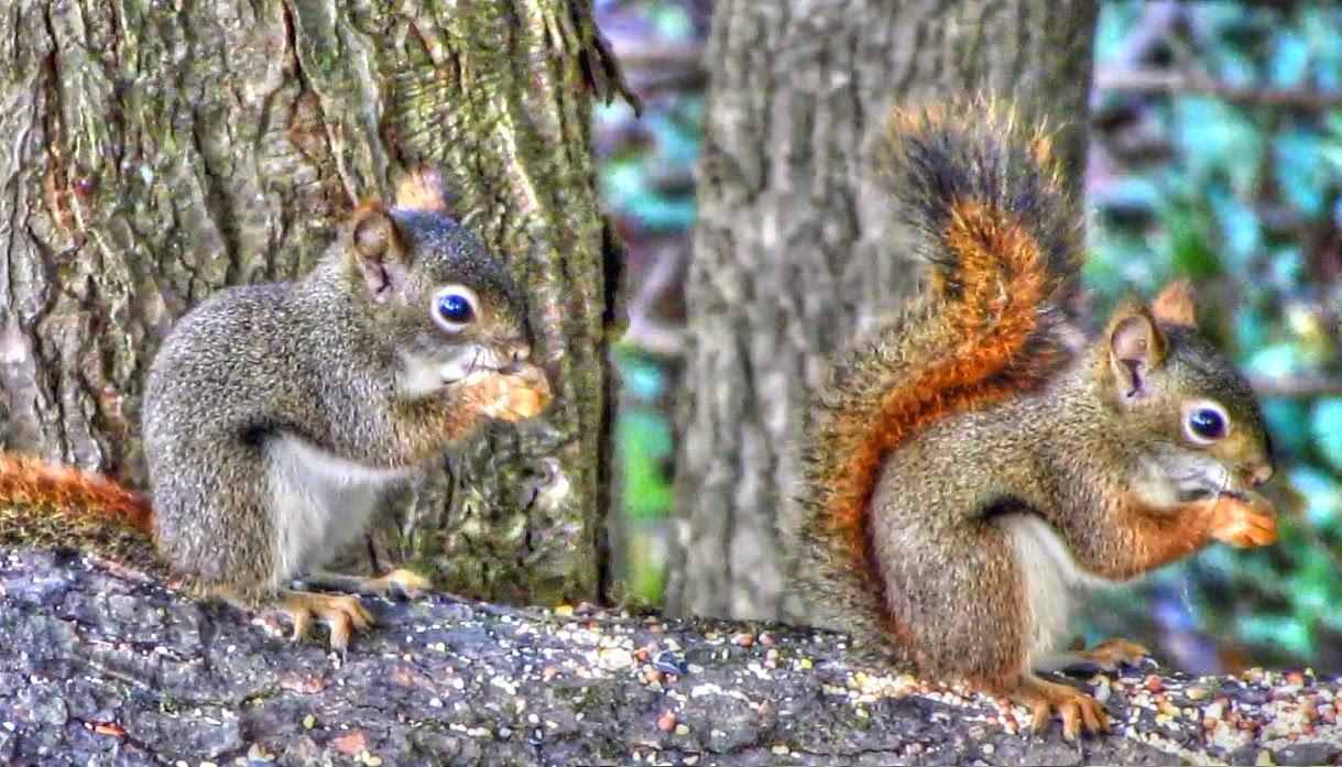 Squirrel Appreciation Day! Red Squirrel
