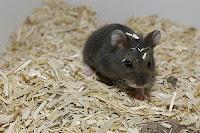 campbell-black-hamster1.jpg