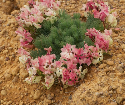 Wreath Leschenaultia ((Leschenaultia macrantha)