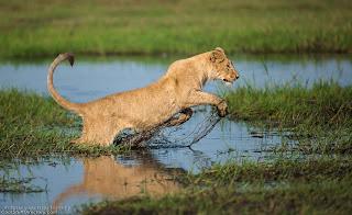24. Lion Jump by Wim van den Heever