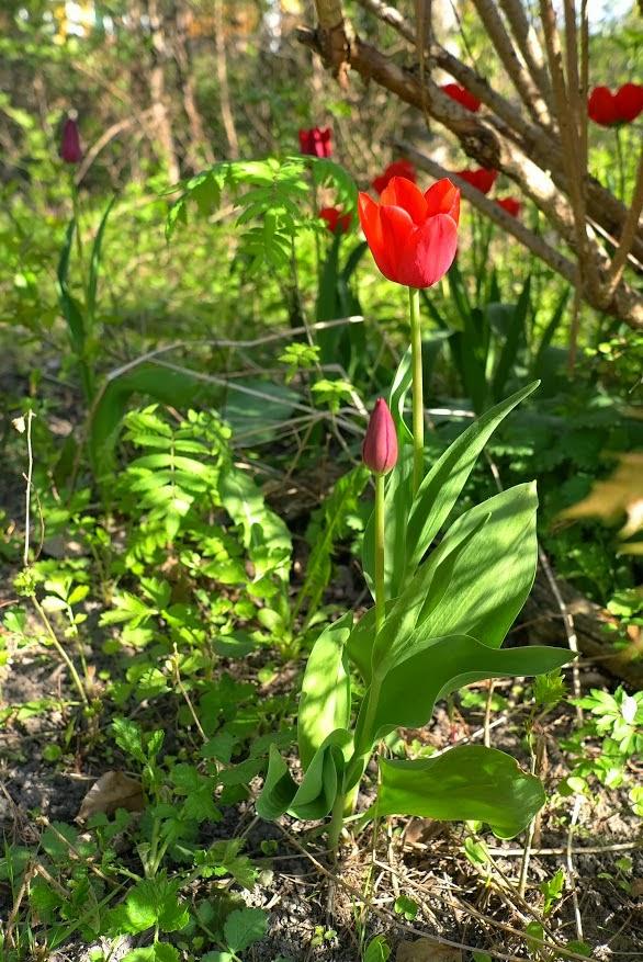 Tulipány na zahradě