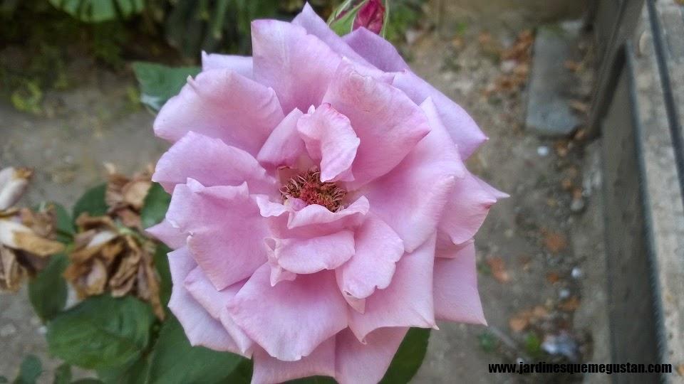 Arboles de rosas cuidar de tus plantas es - Arbol de rosas ...