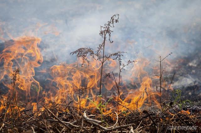 Kebakaran Hutan, Greenpeace Serukan Industri Perkebunan Ikut Bertanggungjawab