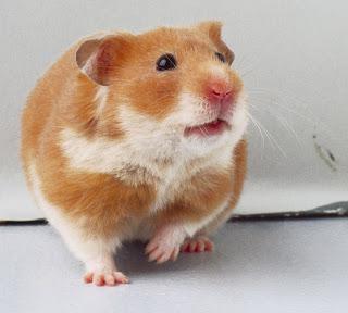 Trại bọ ú: Hamster, bọ ú, guinea pig, thỏ kiểng. Sỉ và lẻ! - 32