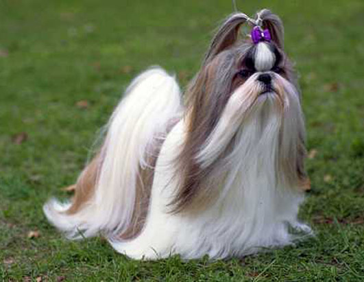 Shih Tzu Dog Breed high resolution widescreen