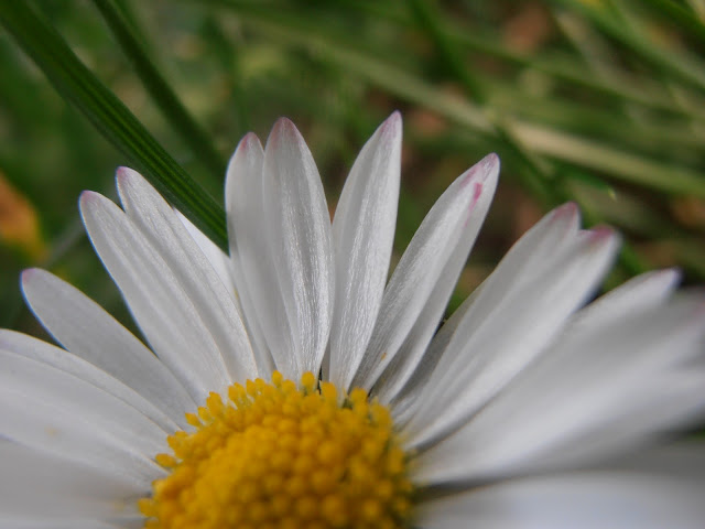 flor-de-CHIVIRITA-Bellis-perennis
