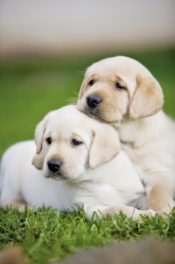 Two Amazing Cute  Labrador Retriever puppy