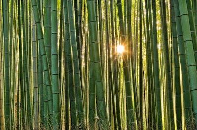 hutan bambu sagano6