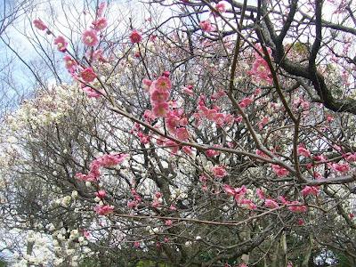 枚方市・意賀美神社(おかみじんじゃ)の梅