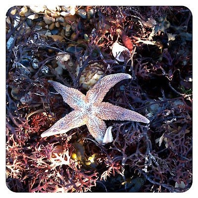 Starfish washed ashore, Worthing beach
