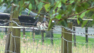 Spotted flycatchers at Kailzie Gardens