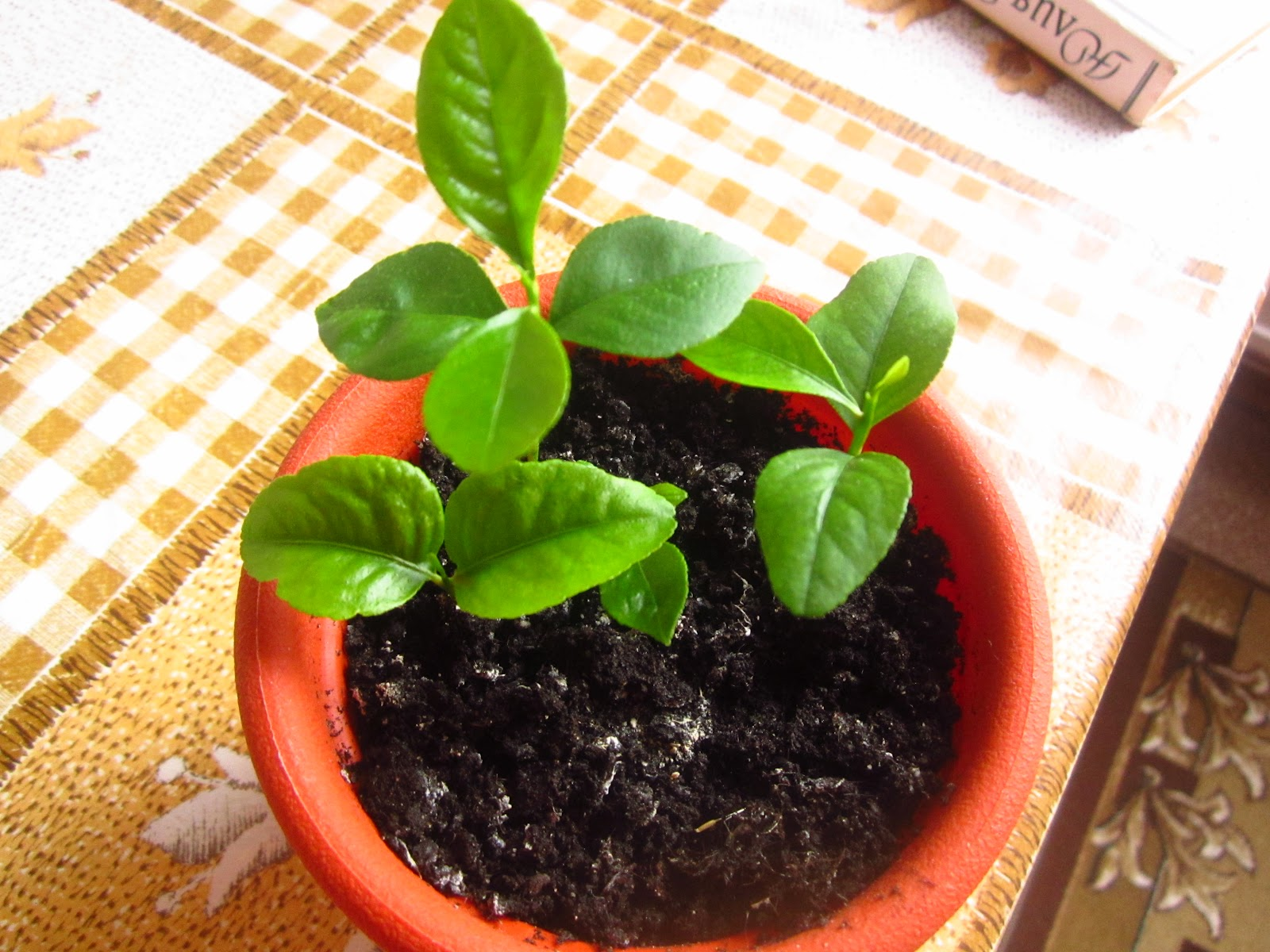 Как посадить лимон в домашних условиях из