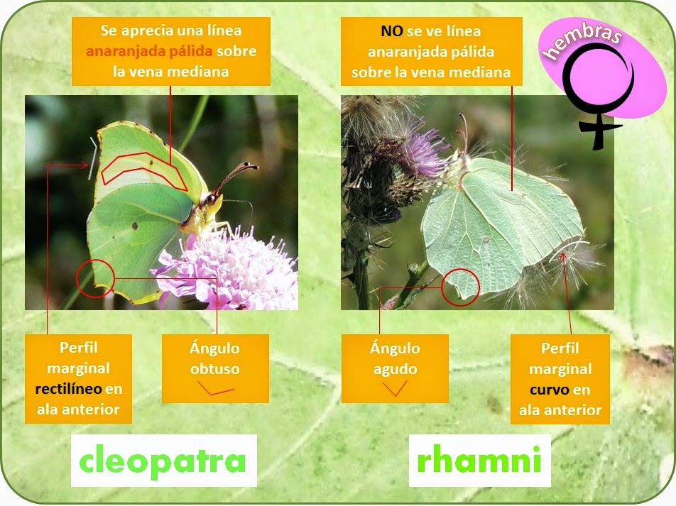 Diferencias entre hembras de Gonepteryx rhamni y Gonepteryx cleopatra
