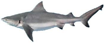 Tubarão-Cabeça-chata (Carcharhinus leucas)