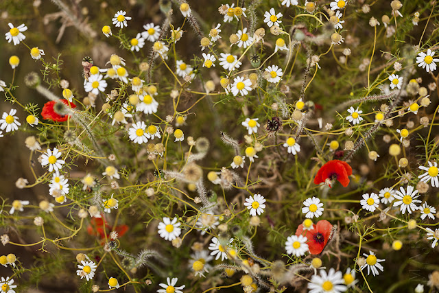 Poppies & daisies caught on camera by Martyn Ferry Photography