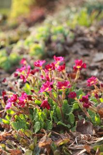 Petrklíč v plném květu
