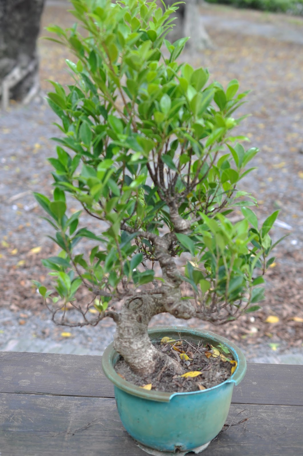 All In One Bonsai And Ceramics Fantastic Ficus