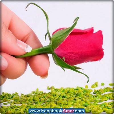 fotografía de rosa linda para facebook