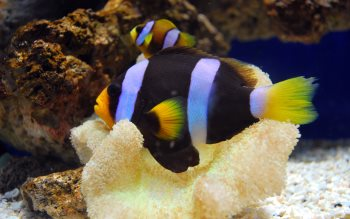 Clownfishes wallpapers
