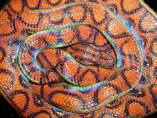 Creature Feature  Rainbow Boa Brazilian Rainbow Snake