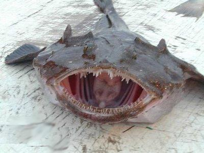 Big fishes of the world angler fish monkfish lophius for World of fishing