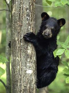 Foto Bayi Beruang Hitam Lucu