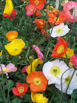 Rainbow Poppies