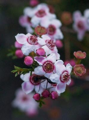 Geraldton Wax (Chamelaucium uncinatum)