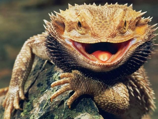"""<img src=""""http://4.bp.blogspot.com/-idY0pA4tAk8/UrAUyR2WvaI/AAAAAAAAF1M/0-8hvd9EGhY/s1600/rww.jpeg"""" alt=""""Reptiles Animal wallpapers"""" />"""