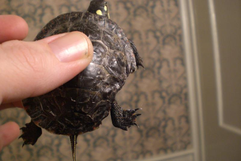 Painted Turtle with part of shell missing