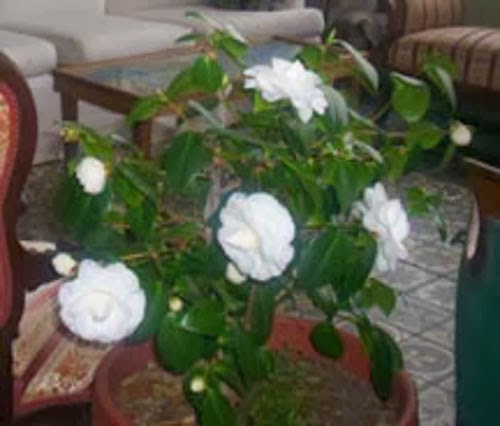 the reason i thought of writing about houseplants today was because i saw one blooming several weeks ago that i could not believe - White Flowering House Plants