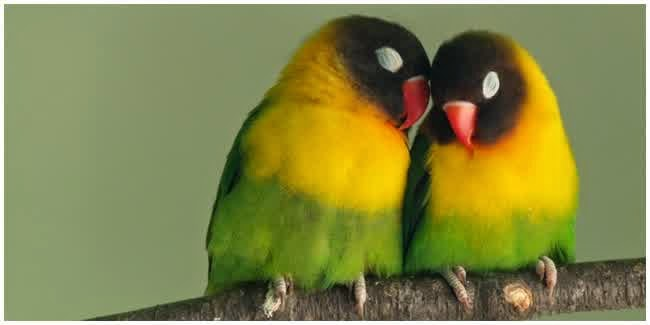 macam penyakit burung love bird