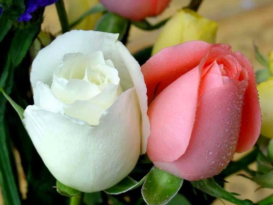 Imagenes De Flores Maravillosas - Flores Maravillosas Imagenes de archivo Imagen: 26697574