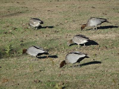 Maned Goose (Chenonetta jubata)