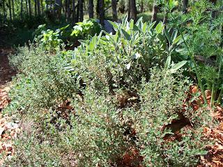 Fresh Thyme & Sage
