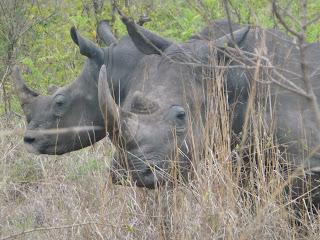 neushoornstroperij in de noordpunt van het Krugerpark