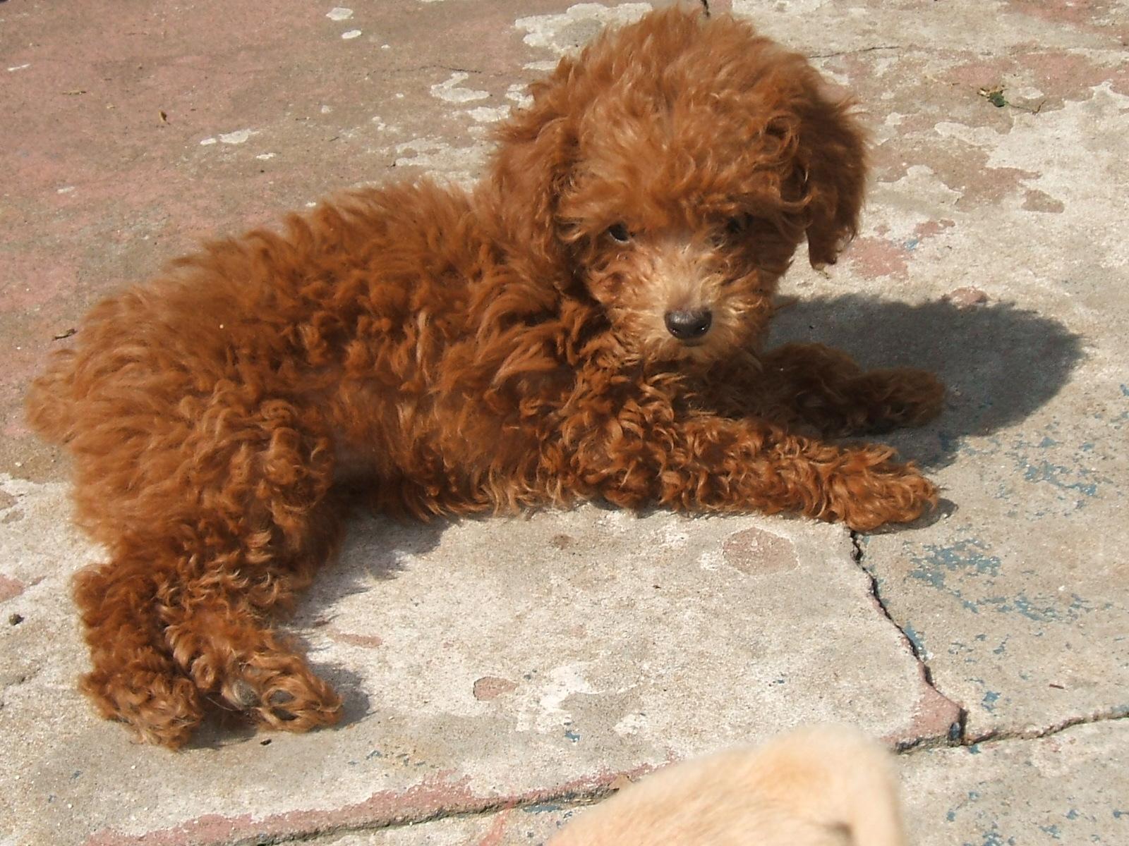 Blog de Perros Miniaturas: Cómo elegir Cachorros de Caniche/Poodle