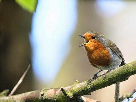Foto Burung Mbotok Jantan