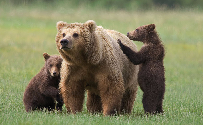 Grizzly Bear Population On Vancouver Island