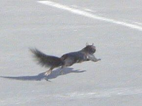 squirrel running across road