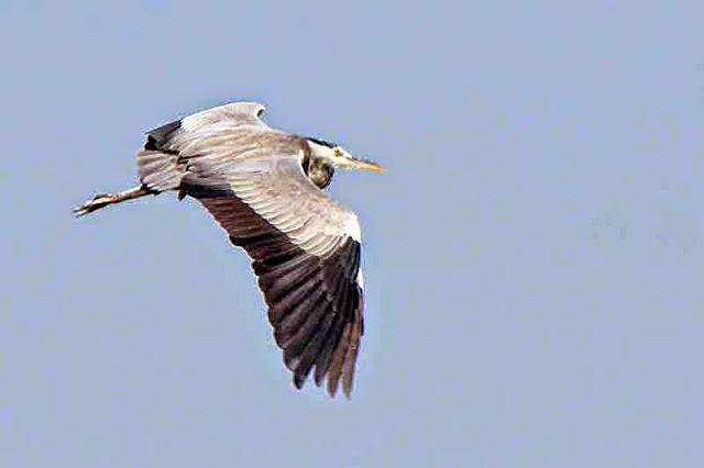 Ardea cinera, Grey Heron, flight