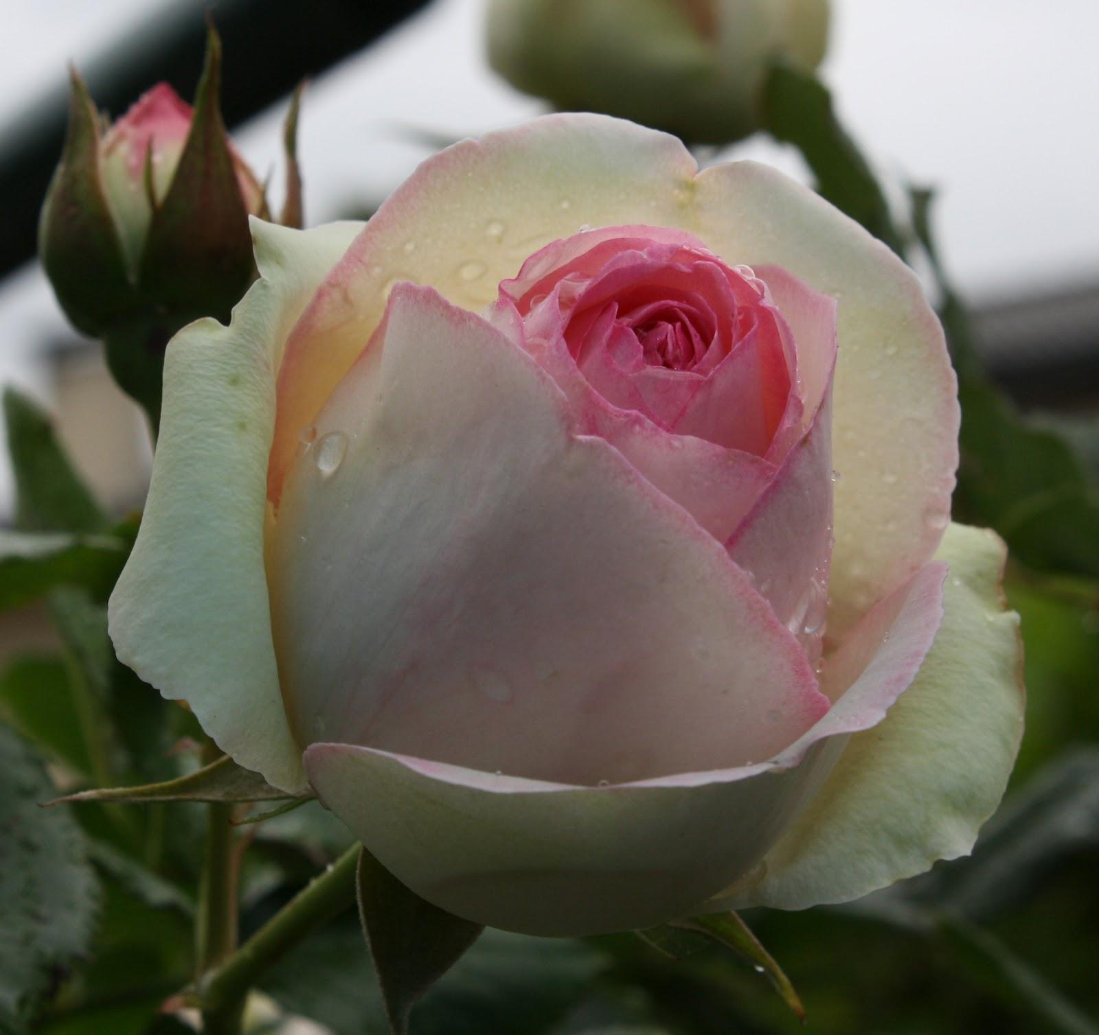 Il piccolo giardino di l pierre de ronsard sotto la pioggia for Pierre de ronsard rosa