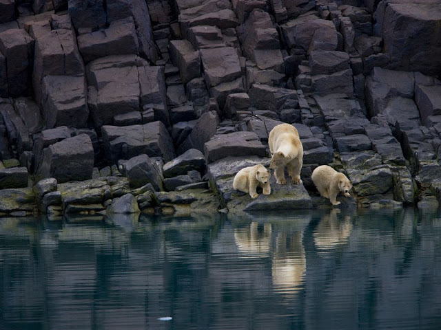 Polar Bear and Cubs, Svalbard , Norway