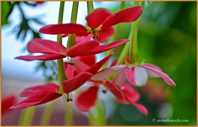 flowers, pink, dancing flowers, like girls dances