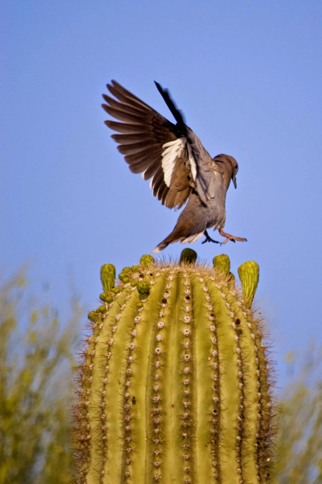 arizona state bird cactus wren and saguaro cactus blossom 50