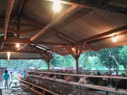 Manajemen pencahayaan kandang ayam broiler