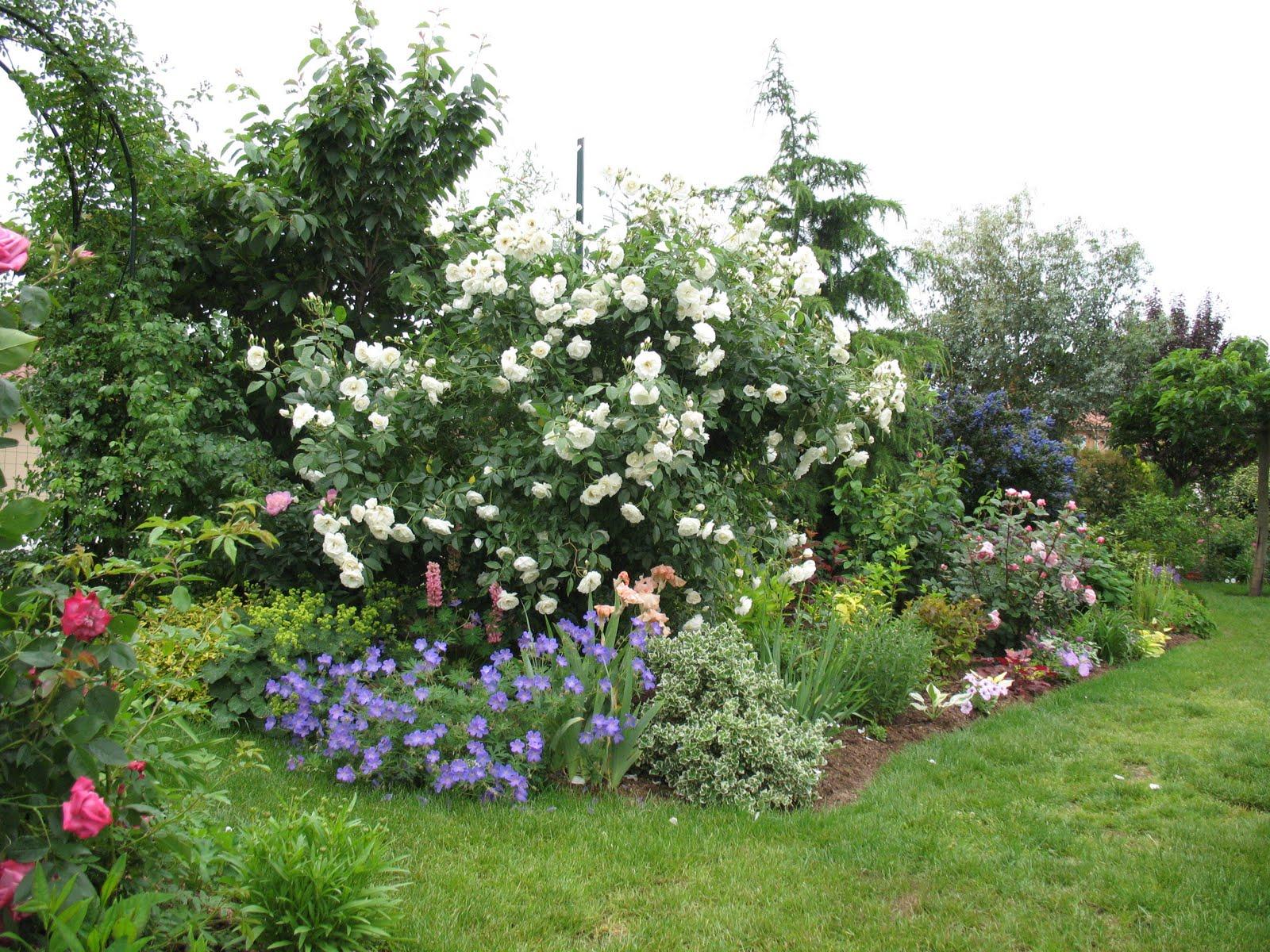 Roses du jardin ch neland rosier iceberg en grimpant - Quand couper les rosiers ...