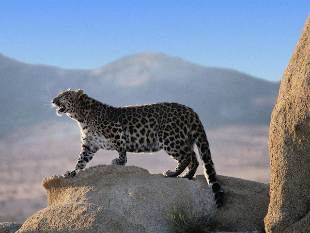 wild_cat_leopard_wallpaper_hd